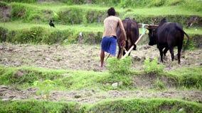 POKHARA, NEPAL - JUNIO DE 2013: granjero que ara con el buey almacen de metraje de vídeo