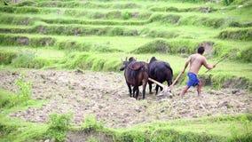 POKHARA, NEPAL - JUNIO DE 2013: granjero que ara con el buey metrajes