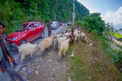 POKHARA, NEPAL, SEPTEMBER 04, 2017: Shepherds take care of flocks of goats, going along the street with some cars parked Royalty Free Stock Images