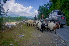 POKHARA, NEPAL, SEPTEMBER 04, 2017: Shepherds take care of flocks of goats, going along the street with some cars parked Royalty Free Stock Photos