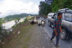 POKHARA, NEPAL, SEPTEMBER 04, 2017: Shepherds take care of flocks of goats, going along the street with some cars parked Royalty Free Stock Photo