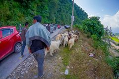 POKHARA, NEPAL, SEPTEMBER 04, 2017: Shepherds take care of flocks of goats, going along the street with some cars parked Stock Image