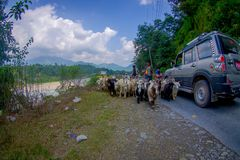 POKHARA, NEPAL, WRZESIEŃ 04, 2017: Bacy biorą opiekę gromadzą się kózki, iść wzdłuż ulicy z niektóre samochodami parkującymi Obraz Stock
