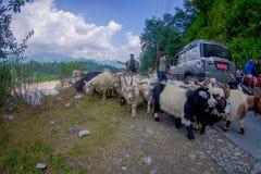 POKHARA, NEPAL, WRZESIEŃ 04, 2017: Bacy biorą opiekę gromadzą się kózki, iść wzdłuż ulicy z niektóre samochodami parkującymi Obrazy Stock
