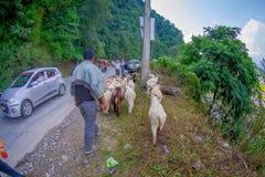 POKHARA, NEPAL, WRZESIEŃ 04, 2017: Bacy biorą opiekę gromadzą się kózki, iść wzdłuż ulicy z niektóre samochodami parkującymi Zdjęcia Royalty Free