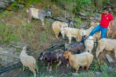 POKHARA, NEPAL, WRZESIEŃ 04, 2017: Pasterski bierze opiekę gromadzi się kózki, iść wzdłuż ulicy miasteczko wewnątrz Fotografia Stock