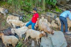 POKHARA, NEPAL, WRZESIEŃ 04, 2017: Pasterski bierze opiekę gromadzi się kózki, iść wzdłuż ulicy miasteczko wewnątrz Zdjęcie Stock