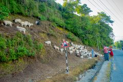 POKHARA, NEPAL, WRZESIEŃ 04, 2017: Pasterski bierze opiekę gromadzi się kózki, iść wzdłuż ulicy miasteczko wewnątrz Zdjęcia Stock