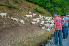 POKHARA, NEPAL, WRZESIEŃ 04, 2017: Pasterski bierze opiekę gromadzi się kózki, iść wzdłuż ulicy miasteczko wewnątrz Obrazy Royalty Free