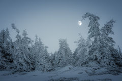 Poking the Moon. A frozen spruce poking the Moon on a winter evening Royalty Free Stock Image