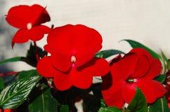 Pokojów kwiaty - jaskrawy czerwony balsam Fotografia Stock