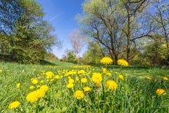 Pokojowa łąka z żółtymi dandelion kwiatami, drzewami w tle i obrazy royalty free