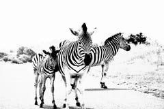 Pokojowa Afryka zebry rodzina Fotografia Royalty Free