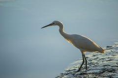 pokojowej egret rafa Zdjęcia Royalty Free