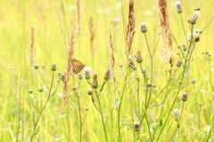 Pokojowy lato krajobraz pole z zieloną trawą i motylem zdjęcia stock
