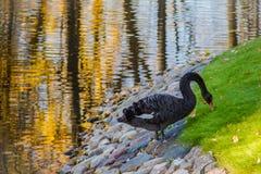 Pokojowy majestatyczny czarny łabędź w parku Obraz Stock