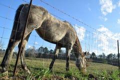 Pokojowy Pastwiskowy koń fotografia stock