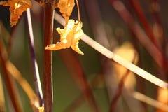 Pokoju karmelu kwiat obrazy stock