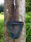 Pokok getah Stock Image