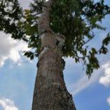Pokok Malesia immagini stock libere da diritti