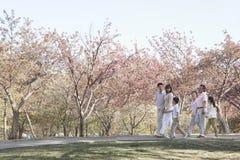Pokoleniowa rodzina bierze spacer wśród czereśniowych drzew w parku w wiośnie, Pekin Obrazy Royalty Free