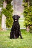 pokryty kędzierzawy psi aporter fotografia stock