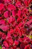 Pokrywa kwiecisty dywan czerwoni liście ogrodowy koleus fotografia stock