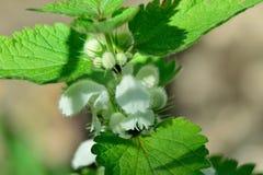 Pokrzywowa roślina Zdjęcie Stock