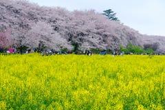 Pola żółty kwiatonośny nanohana z różowymi czereśniowymi okwitnięciami behind: Gongendo park w Satte, Saitama, Japonia Obraz Stock