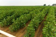 pola bawełny Obraz Stock