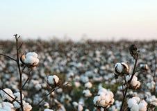 pola bawełny Zdjęcia Stock