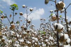 pola bawełny Zdjęcie Stock