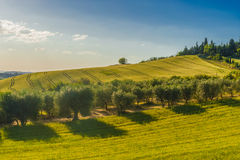 Pola i drzewa oliwne blisko Pienza, Tuscany, Włochy Zdjęcia Stock