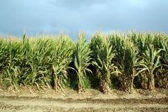 pola kukurydzy Zdjęcia Stock