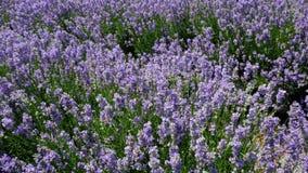 Pola kwitnący lawendowi kwiaty zdjęcie wideo