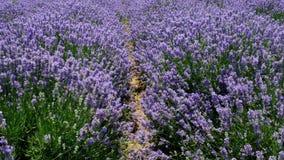 Pola kwitnący lawendowi kwiaty zbiory wideo