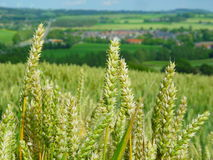 pola pszenicy zdjęcia stock