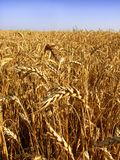 pola pszenicy Zdjęcie Stock