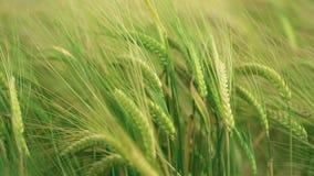 pola pszenicy zbiory