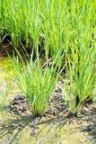 Pola ryż Zdjęcie Royalty Free