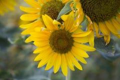 Pola słoneczniki są teraz błoniem obraz royalty free