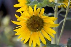 Pola słoneczniki są teraz błoniem fotografia stock