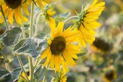Pola słoneczniki są teraz błoniem obrazy royalty free