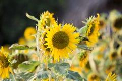 Pola słoneczniki są teraz błoniem fotografia royalty free