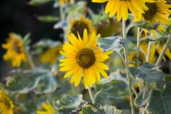 Pola słoneczniki są teraz błoniem zdjęcie royalty free