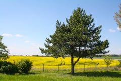Pola wiosna kwiaty, Europa Ananasowy drzewo, kolor żółty kwitnie, niebieskie niebo i chmury Zdjęcie Stock
