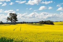 Pola złota canola upraw północ Benalla, Wiktoria Zdjęcie Stock