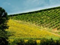 Pola z winem słoneczniki w Tuscany Obraz Stock