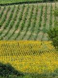 Pola z winem słoneczniki w Tuscany obraz royalty free