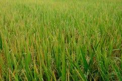 pola zielenieją ryż Zdjęcie Stock